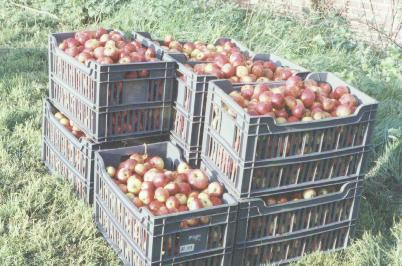 apples ready for pressing